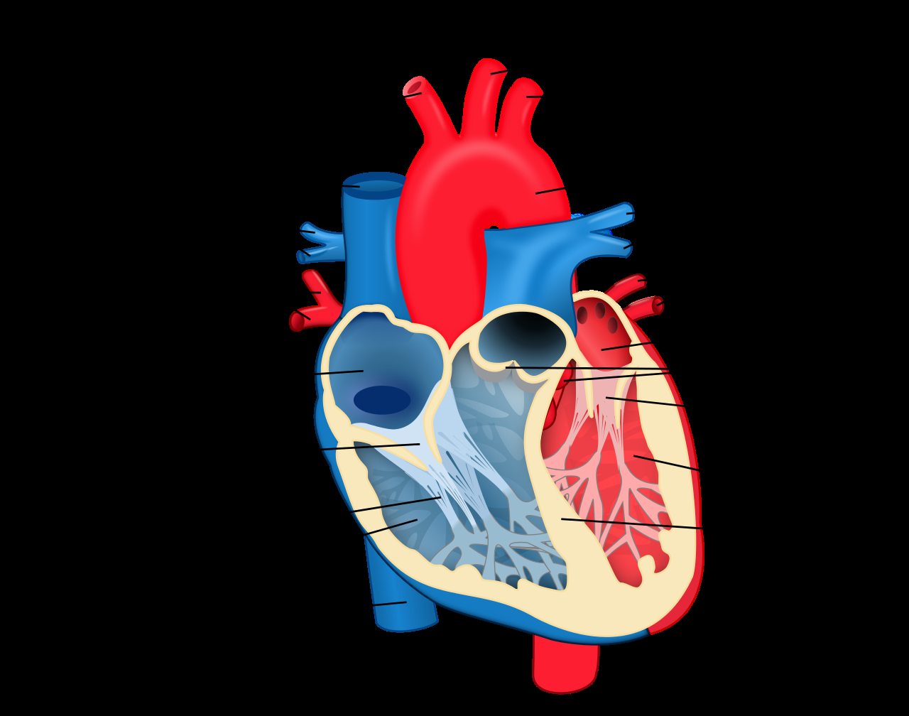 Heart Diagram Labeled