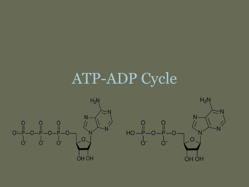 Atpadp Cycle Also Atp Adp Cycle Worksheet 11