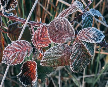 Frost on leaves in winter