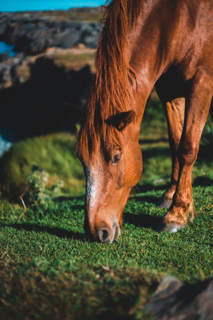 Chestnut Horse Eating Fresh Grass