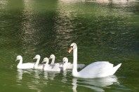 Palma Swans 9791 Copyright Shelagh Donnelly