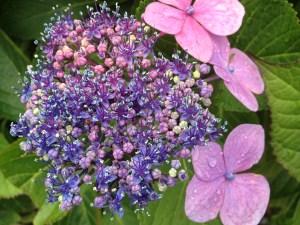 purple pink hydrangea opening