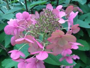 Hydrangea gentle pink Fall 2013