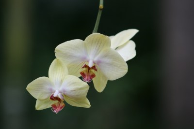 Fairchild Orchid 3538 Copyright Shelagh Donnelly