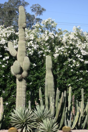 Cacti 4803 Copyright Shelagh Donnelly