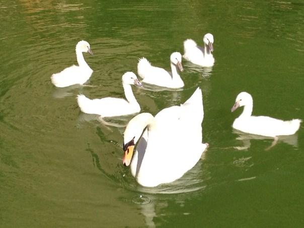 Cathedral swans Palma de Mallorca Copyright Shelagh Donnelly