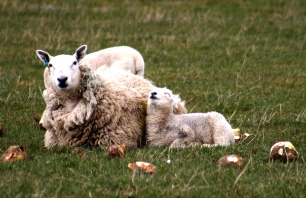 18_9016 Sheep,Lamb_Near_Anstruther_Scotland_cropped Copyright Shelagh Donnelly