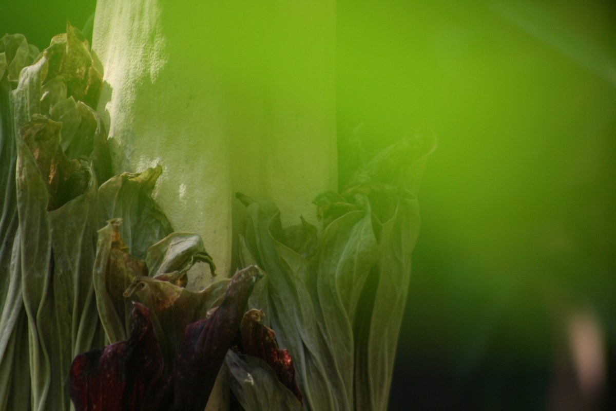 Vancouver's Not-So-Smelly Corpse Flower
