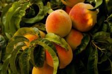 Peach-Courtesy-Ian-Baldwin-Unsplash