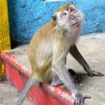 Monkey Batu Caves Malaysia 2012