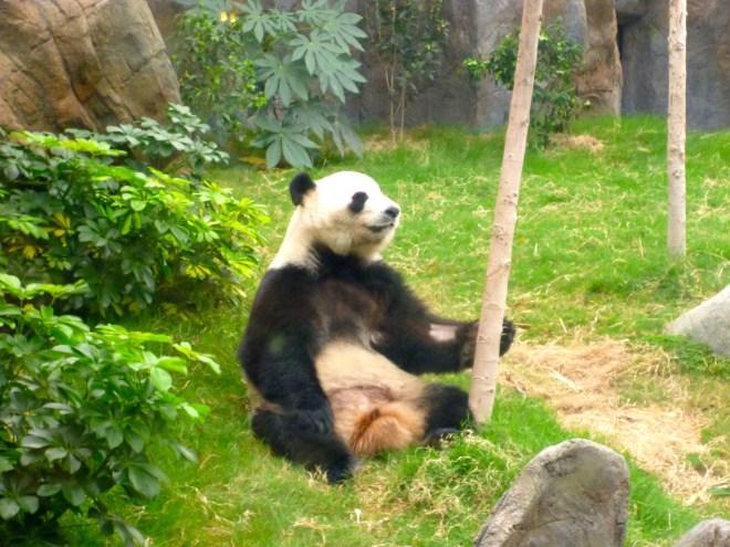 Panda - Ocean Park 2012