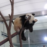 Panda Moments at Shirahama Japan