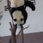 Panda Moments at Shirahama Japan