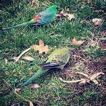 A pair of #GrassParrots spotted on the #lunchtime #walk around #LakeTuggeranong  #Fitbit #Tuggeranong #Wildlife #AustralianNative #Bird #InstaBirds