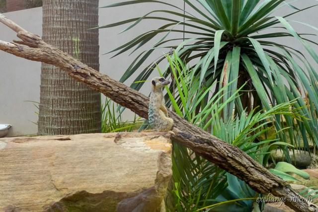 悉尼塔龍加動物園狐獴 Meerkat in Sydney Taronga Zoo