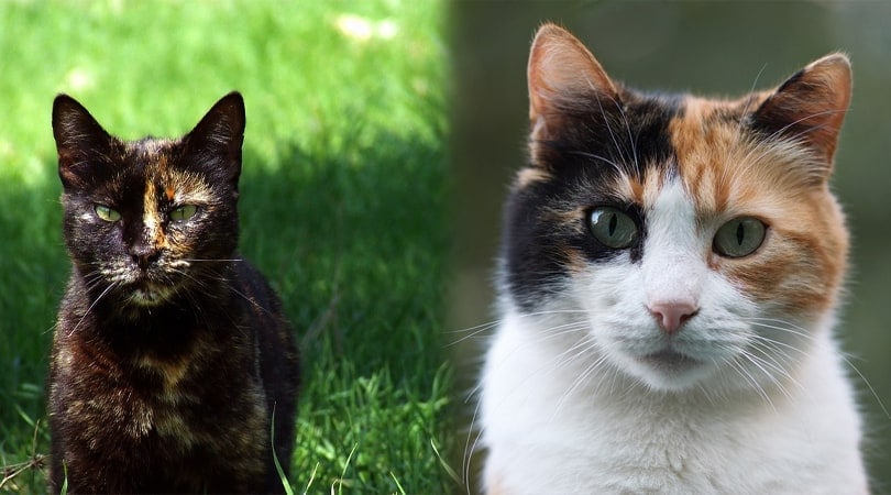 Tortoiseshell vs. Calico: How to Spot the Difference (With Pictures) -  Excited Cats