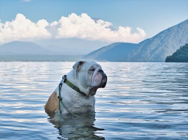 湖に浸かるブルドッグ
