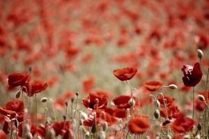 Lest We Forget, In Flanders Fields By John McCrae