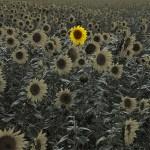 sunflower-4386505_1920