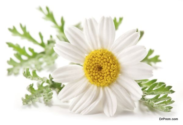 Macro shot of wild camomile over white.