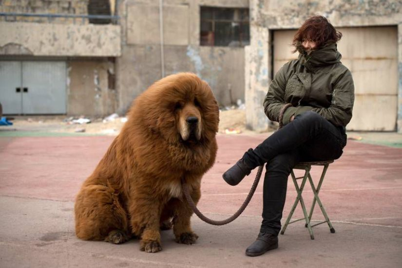 Tibettan-Mastiff-Dog-Breeders.jpg