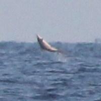 Bonus LBI Jumping Spinner Shark Photos