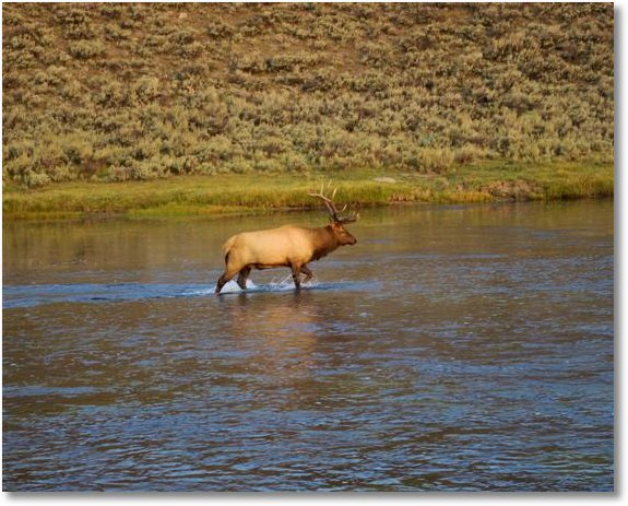 bull elk in madison river