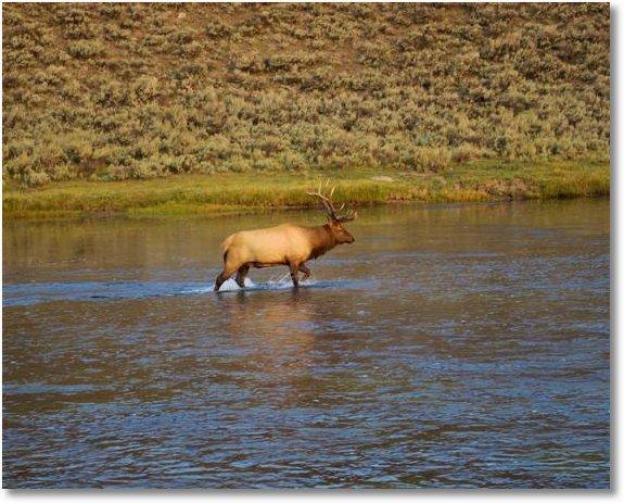 bull elk in madison river