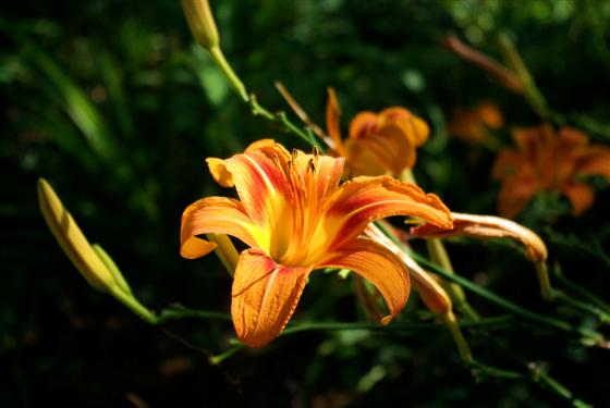 One of many lillies in our yard.