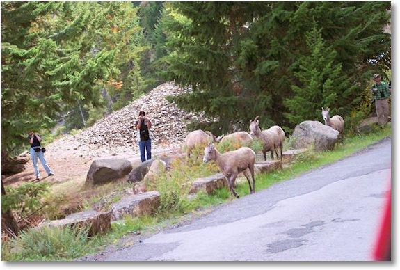 bighorn sheep near tower falls yellowstone