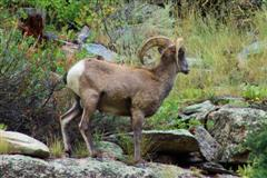 Big Horn in Big Thompson Canyon