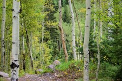 aspens in early autumn at 9,500 feet