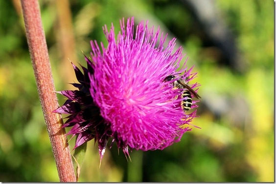 Thistle blossom and yellowjacket, Rocky Mountain National Park, Colorado, September 2, 2009