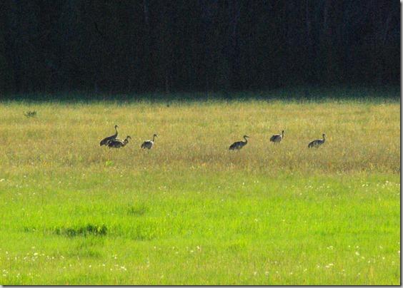 Sandhill Cranes west of Stanley, Idaho