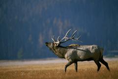 Bull Elk Bugling, Arkansas