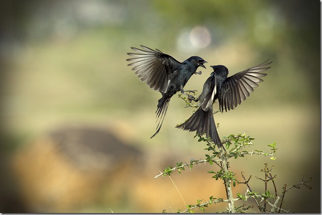 ♥ The Drongo Love ♥ Happy Valentine's Day ♥ by VinothChandar