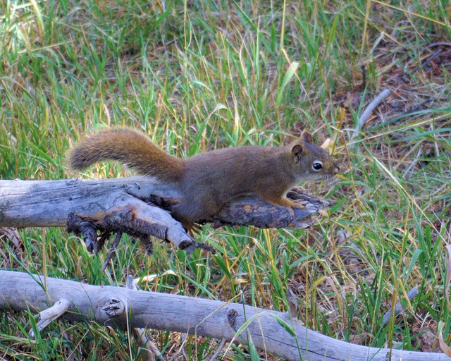 Red Squirrel, Mud Volcano Loop Trail, Yellowstone National Park - September 15, 2007