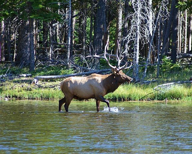 Bull Elk in Madison River, Yellowstone National Park, Wyoming, September 11, 2007