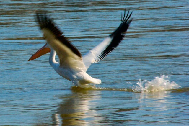 pelican - Arkansas River below Dardanelle Dam, February 15, 2007