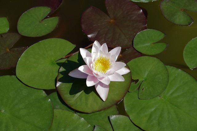 Water lily - Tulsa Garden Center, Tulsa, Oklahoma, June 26, 2013