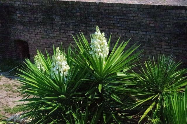 Yuccas in front of Fort Gaines,  Dauphin Island, July 3, 2011