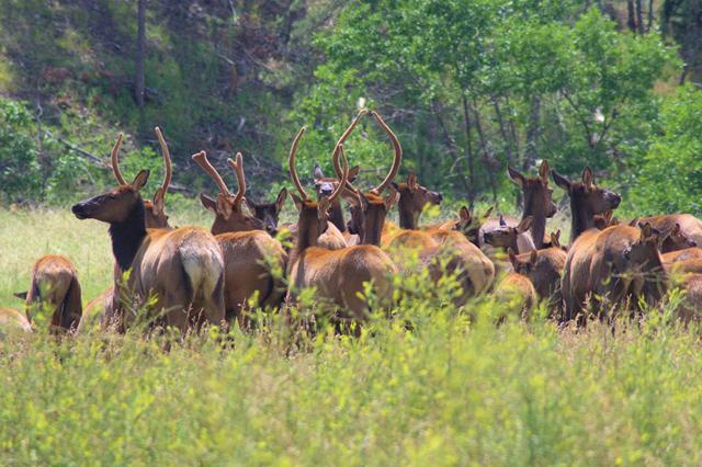 Elk, Custer State Park, South Dakota, August 8, 2014