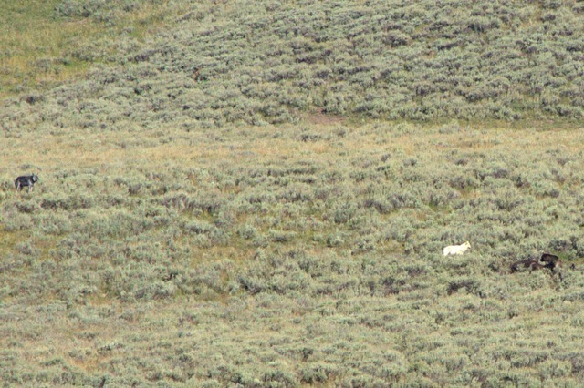 Wolf vs. Grizzly Bear encounter, Yellowstone National Park, Wyoming, August 19, 2014