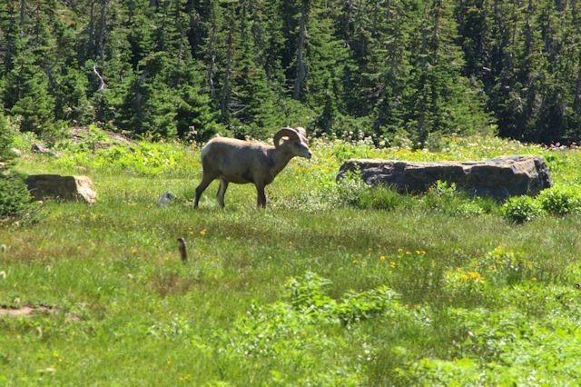 Bighorn ram, Hanging Gardens Trail to Hidden lake Overlook, Glacier National Park, Montana, August 27, 2014