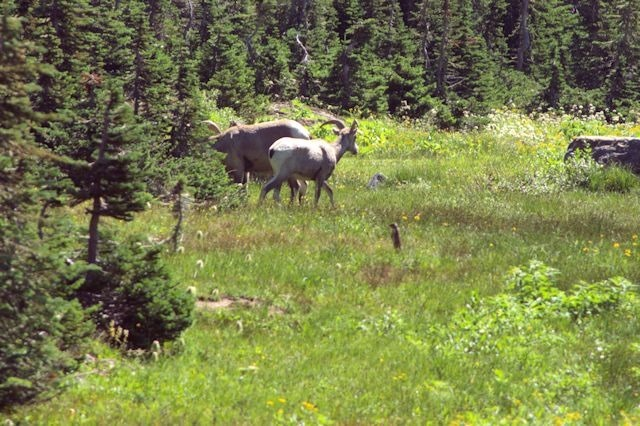 Bighorn ram and ewe, Hanging Gardens Trail to Hidden lake Overlook, Glacier National Park, Montana, August 27, 2014