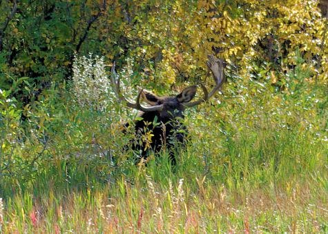 Bull moose settled down in brush, Menor's Ferry area, Grand Teton National Park.