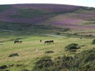 1108-annette-baker-heather-on-exmoor