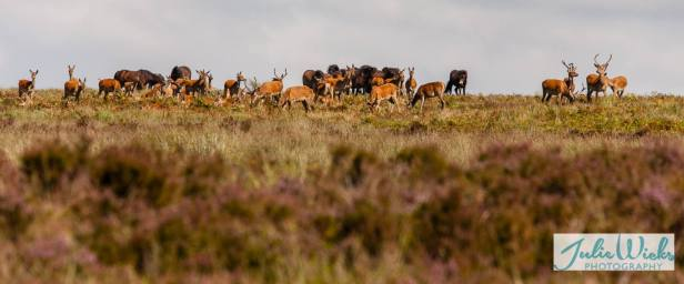 1108-julie-wicks-deer-being-moved-on-by-exmoor-ponies-2