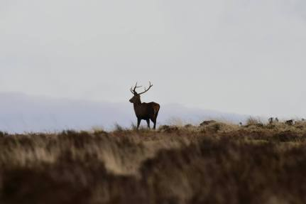 1808-jim-gulliford-a-stag-walking-off-into-the-evening-light-again-from-january-this-year