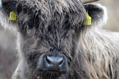 2108-linda-thompson-close-up-highland-calf
